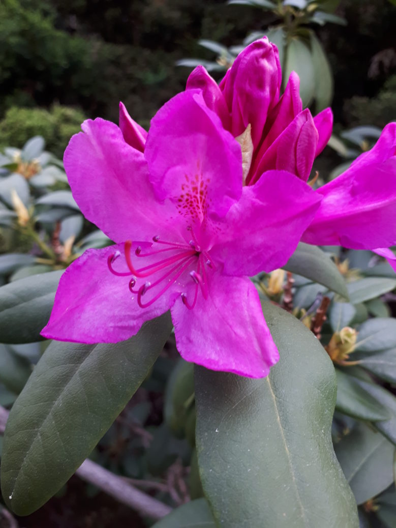 Rhododendron williamsianum